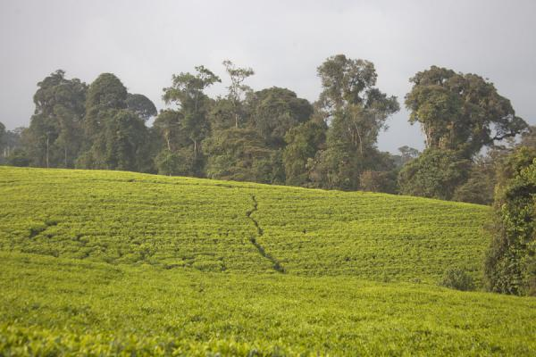 Trees towering above a tea plantation near Gisakura | Gisakura tea plantations | Rwanda