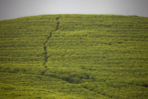 Trail cut through a tea plantation on a hill near Gisakura | Gisakura tea plantations | Rwanda