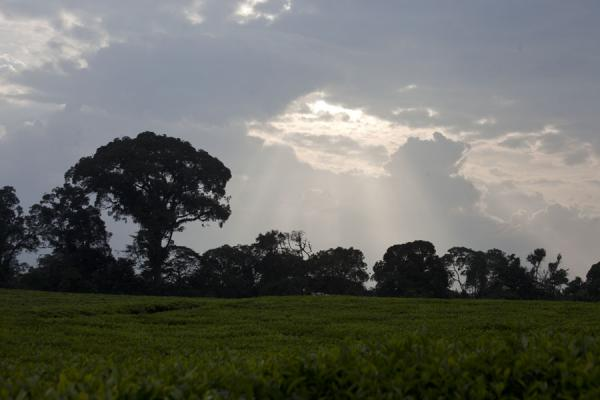 Silhouettes of trees near a tea plantation in the late afternoon | Gisakura tea plantations | Rwanda