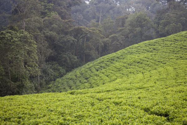 Picture of Gisakura tea plantations (Rwanda): The tea plantations have been cut out off the rainforest
