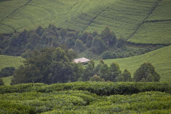 Picture of Tea plantations surrounding a patch of trees and a house