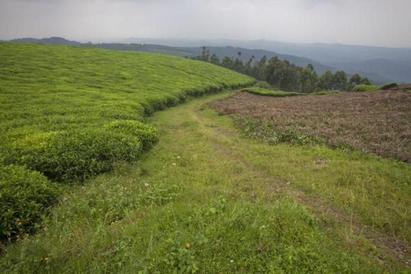Track leading downhill past a tea plantation | Gisakura tea plantations | Rwanda