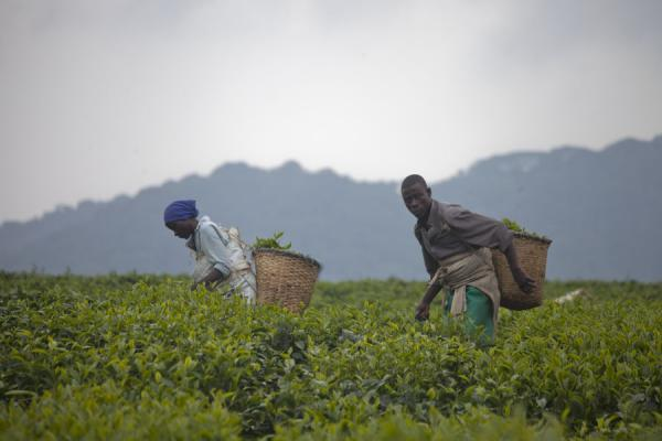 Two people picking tea in one of the many tea plantations | Gisakura tea plantations | Rwanda