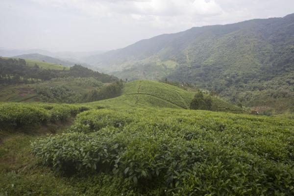 View over the tea plantations just outside Nyungwe National Park | Isumo waterfall trail | Rwanda