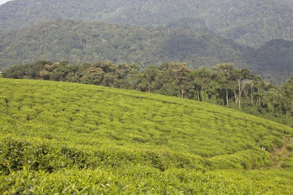Picture of Isumo waterfall trail (Rwanda): Landscape of tea plantations and rainforest in Nyungwe National Park