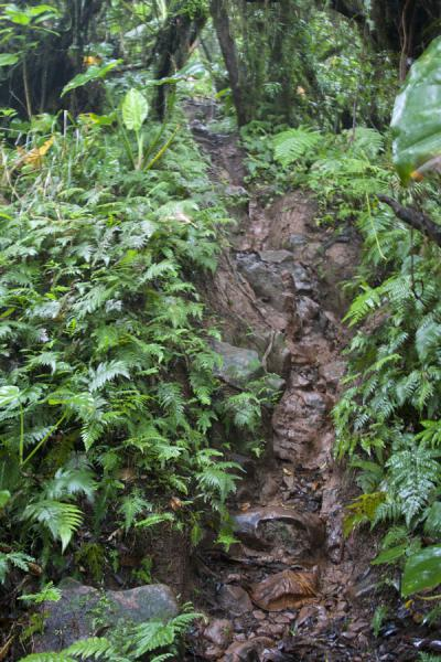 Muddy stretch of the trail leading up to Nevis Peak | Nevis Peak hike | St Kitts en Nevis