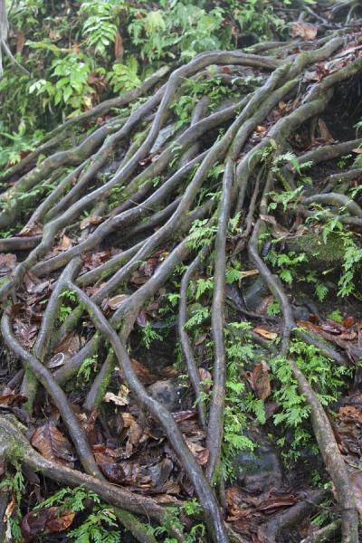 Many roots which can be used for climbing the mountain | Nevis Peak hike | St Kitts en Nevis