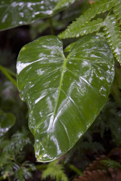 A strong leaf which could shield anyone from the rain | Scalata di Nevis Peak | St. Kitts e Nevis