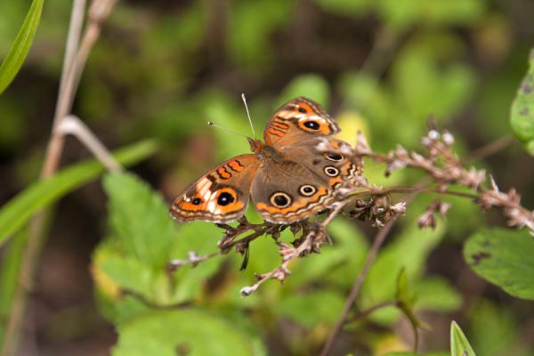 Photo de One of the butterflies that we encountered during our hike up to Nevis Peak - St Christoph et Niévès - Amérique