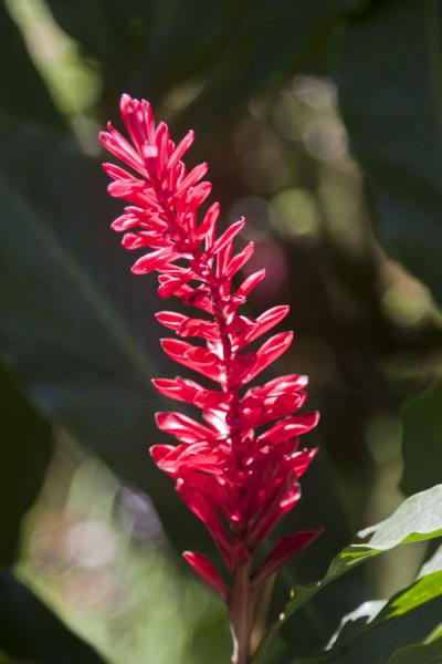 Red exotic flower in the Diamond Botanical Gardens | Diamond Botanical Garden | Saint Lucia