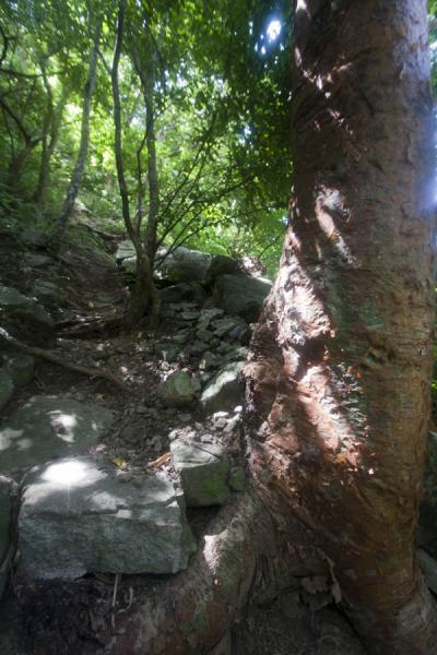 Foto di Tree on the trail to the summit of Petit PitonPetit Piton - Santa Lucia