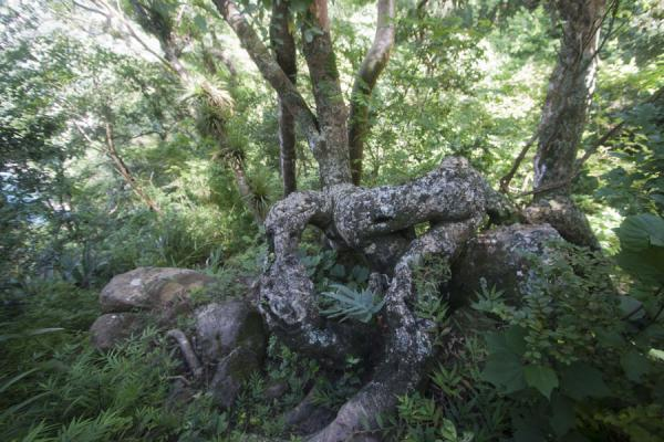 Foto de Thick roots at the trail to the top of Petit PitonPetit Piton - Santa Lucia