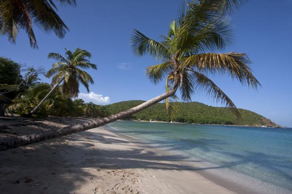 Picture of Palmtree hanging over the fine white sand of Sandwhistle beach