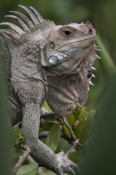 Picture of Tobago Cays (Saint Vincent and the Grenadines): Iguana on a plant on Baradal Island