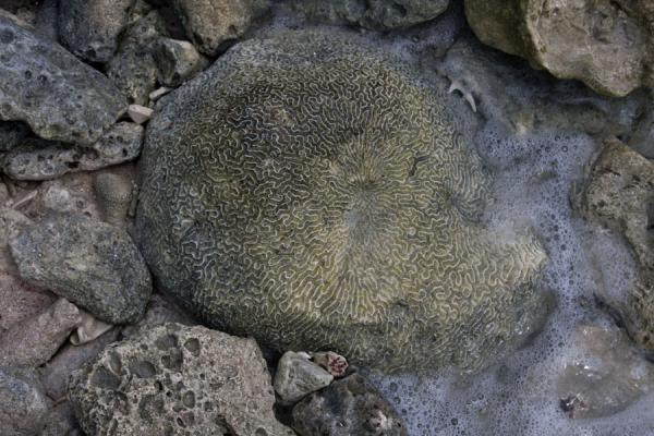 Picture of Tobago Cays (Saint Vincent and the Grenadines): Brain coral at the surface of the sea on Petit Tabac island