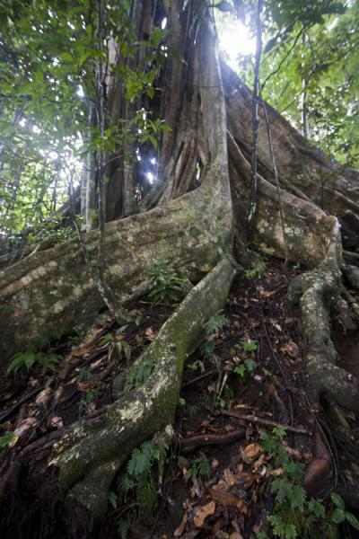 One of the gigantic buttressed trees on the Vermont trail | Vermont nature trail | Saint Vincent and the Grenadines
