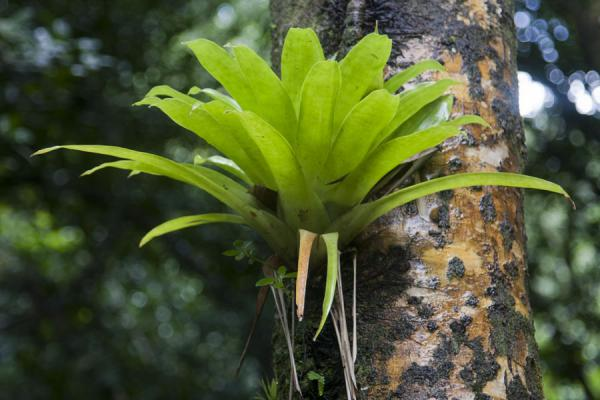 Bromeliad in a tree capturing water | Vermont nature trail | Saint Vincent and the Grenadines