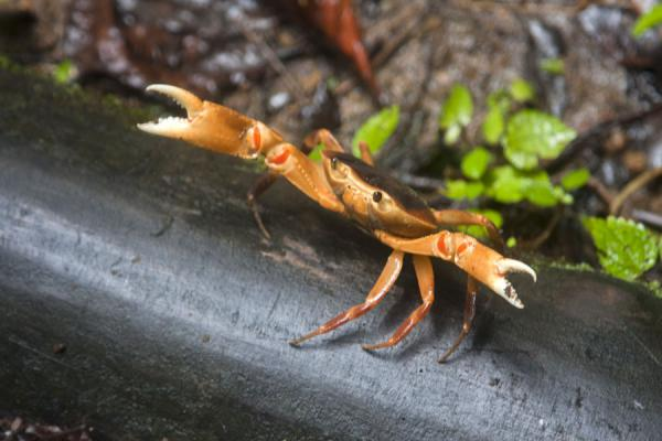 Picture of Vermont nature trail (Saint Vincent and the Grenadines): Curious and aggressive crab in the forest on the Vermont trail