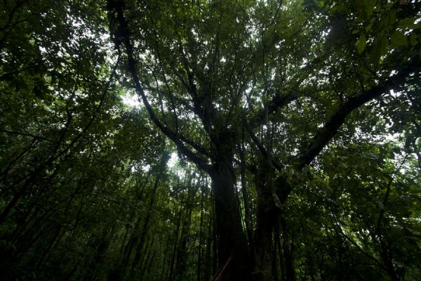 Looking up the dense canopy of the forest | Vermont nature trail | Saint Vincent and the Grenadines