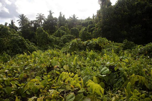 Foto di Thick vegetation covering the top of the ancient mound of Pulemelei - Samoa - Oceania