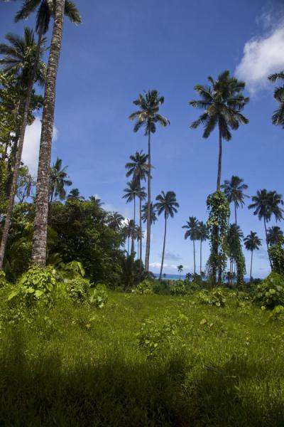 Picture of Tall palmtrees are one of the sights on the trail to Pulemelei moundPulemelei - Samoa