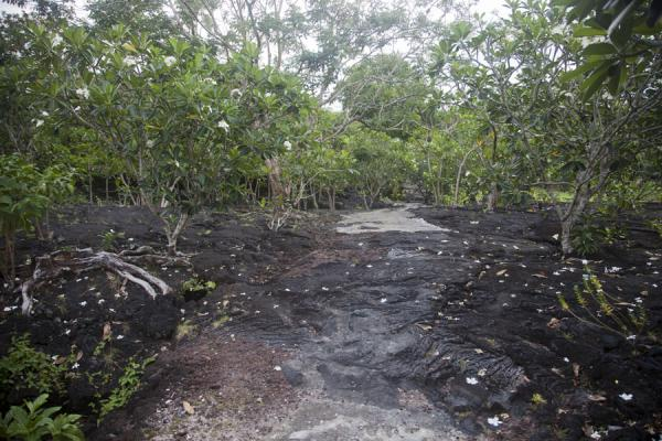 Picture of Savai'i lava fields (Samoa): Saleaula lava field with frangipane trees