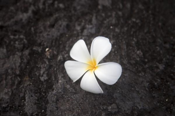 Frangipane flower on the lava field | Campi di lava di Savai'i | Samoa