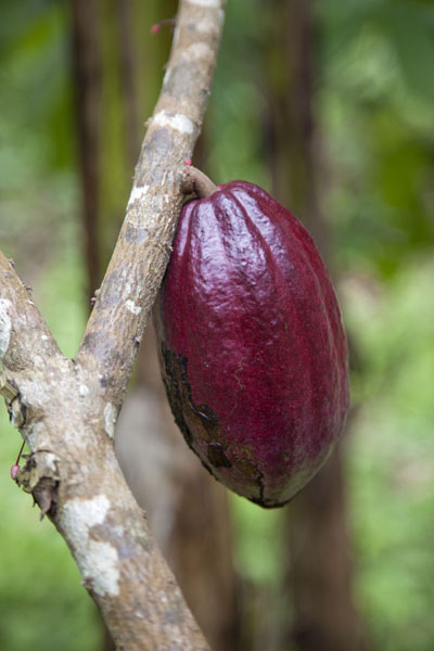 Cocoa fruit can be easily spotted along the roads to Belo Monte | Belo Monte hike | São Tomé and Príncipe
