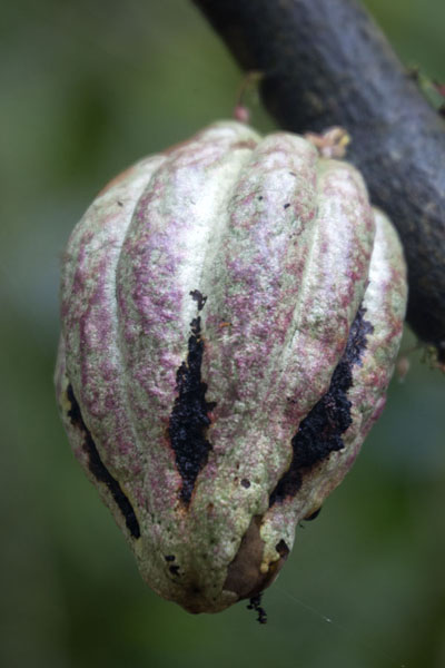 Cocoa fruit on a branch, growing in the wild | Cascata Angolar | São Tomé and Príncipe