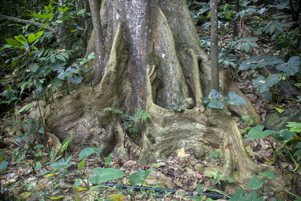 Photo de Tree with strong roots on the flanks of the mountain near Cascata Angolar - Serbie - Afrique