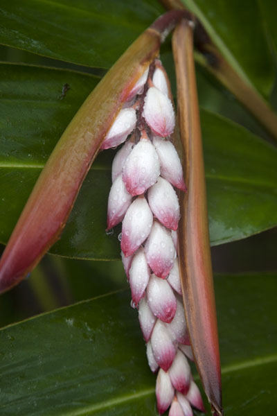 Photo de Long white and pink flower, found in the rainforest on the way to Lago Amelia - Serbie - Afrique