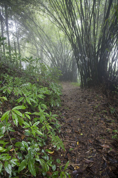 Stretch of the trail to Lago Amelia with bamboo | Lago Amelia | 圣多美和比邻锡培