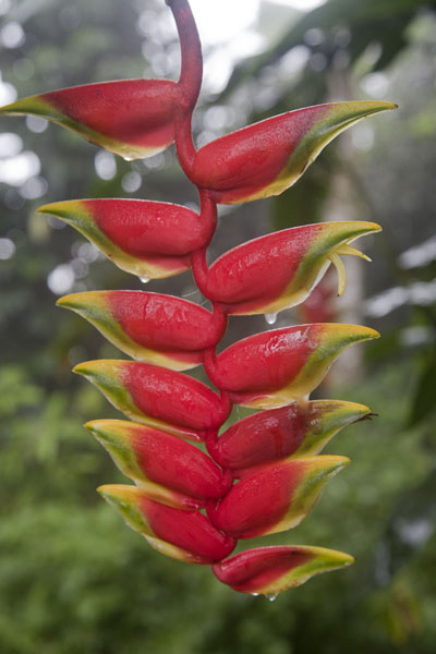 The red and remarkable heliconia can be found everywhere on the island; here, it grows in the Botanic Garden of Bom Sucesso | Lago Amelia | São Tomé and Príncipe