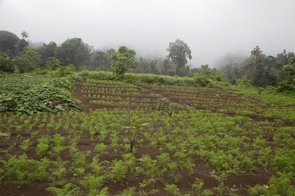 Agricultural lands on the way to Lago Amelia | Lago Amelia | São Tomé and Príncipe