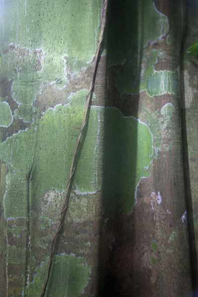 Close-up of trunk of a tropical tree on the flanks of Pico Papagaio | Pico Papagaio | São Tomé and Príncipe