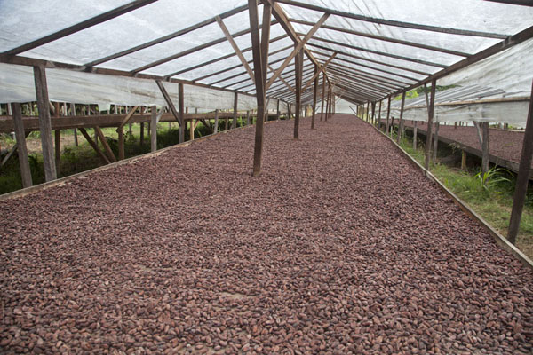 Foto van Large wooden tables with drying cocoa at Roça Monteforte - Servië - Afrika