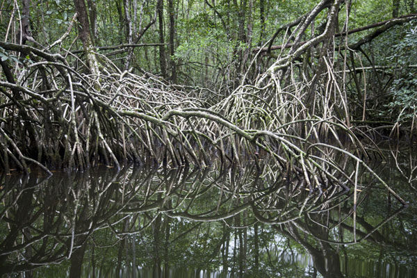 Mangrove roots reflected in the water | Southern São Tomé | São Tomé and Príncipe
