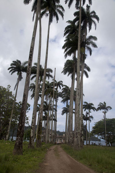 Palmtrees lining the dirt track through Porto Alegre | Southern São Tomé | São Tomé and Príncipe