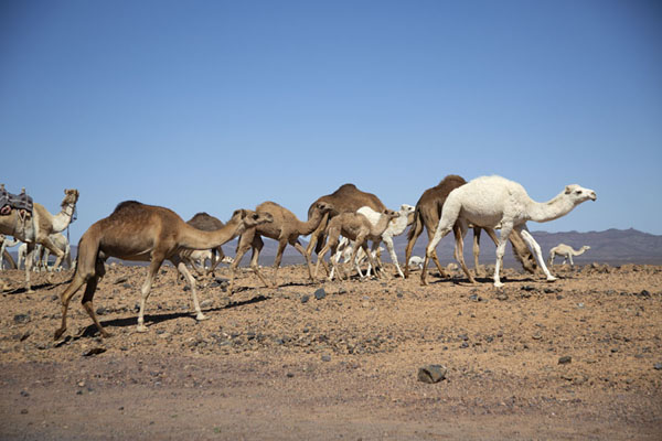 Foto van Herd of camels roaming the countryside between Al Ula and Mushroom RockAbu Rakah - Saoedi Arabië