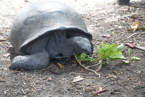 Picture of Curieuse island (Seychelles): Aldabra giant tortoise on Curieuse eating leaves