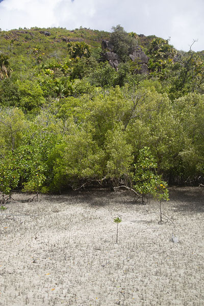 Picture of Curieuse island (Seychelles): Low tide at the mangrove swamp