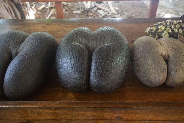 Detail of one of the giant leaves | Vallée de Mai | Seychelles