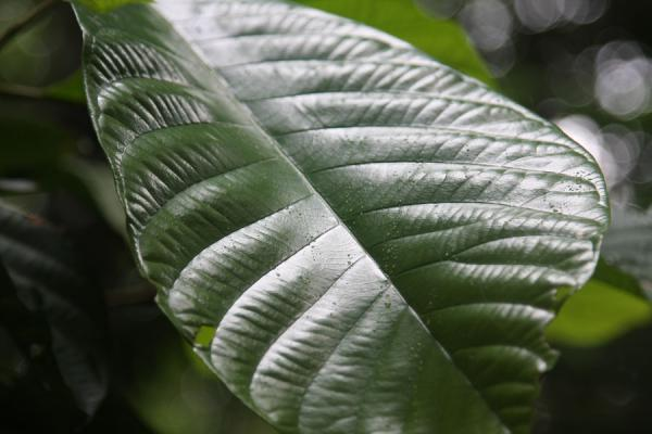 Picture of Bukit Timah Nature Reserve (Singapore): Leaf in the rainforest of Bukit Timah