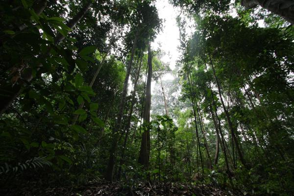 Picture of Bukit Timah Nature Reserve (Singapore): Dense rainforest of Bukit Timah