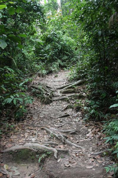 Path with roots cutting through Bukit Timah | Bukit Timah Nature Reserve | Singapore