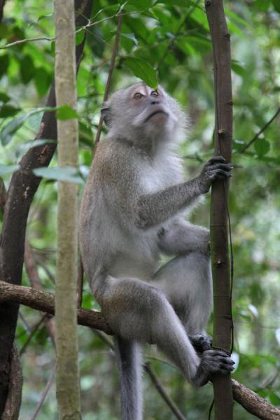 Monkey sitting on a branch in Bukit Timah - 新加玻