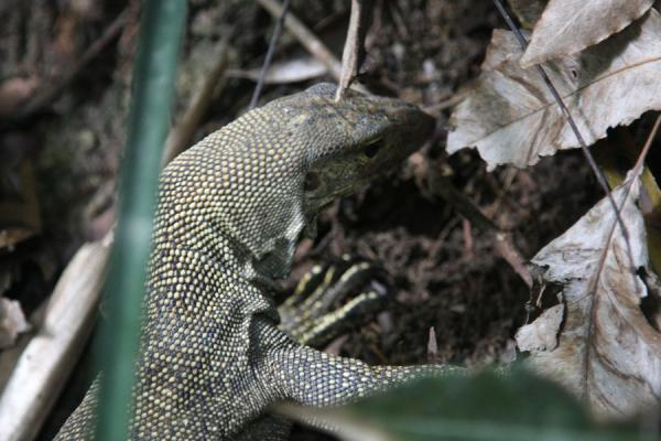 Iguana searching for food | Bukit Timah Nature Reserve | Singapore