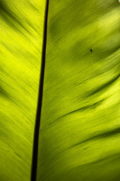 Sun shining through a big leaf | Singapore Botanic Gardens | Singapour