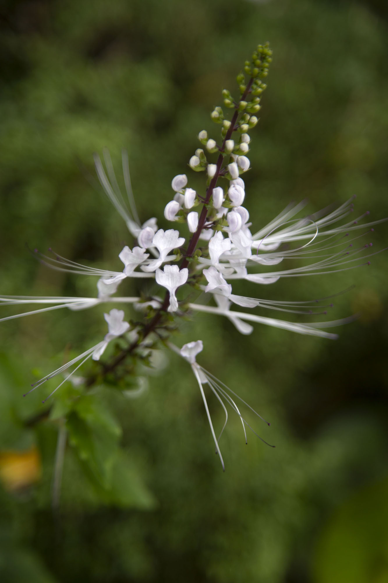 Exquisite white flower in the botanic gardens | Singapore Botanic Gardens | Singapour