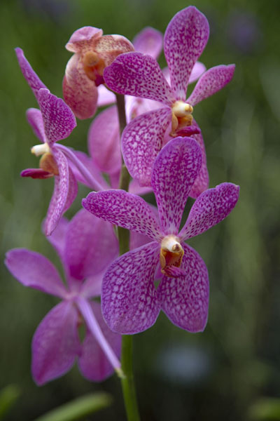 Foto de Purple orchid in the National Orchid Garden of the Botanic Gardens of SingaporeSingapore Botanic Gardens - Singapur